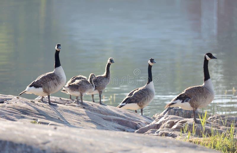 Famille d'oiseau d'oie du Canada dans la position de lumière de début de la matinée sur un RO images stock