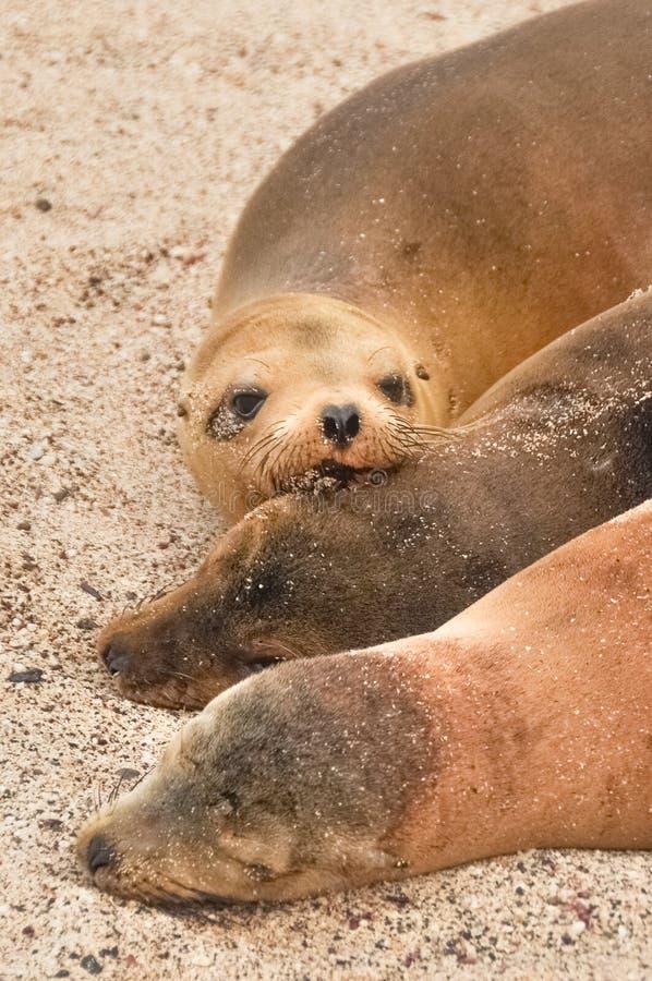 Famille d'otarie, plage de Loberia, îles de Galapagos, Equateur images stock