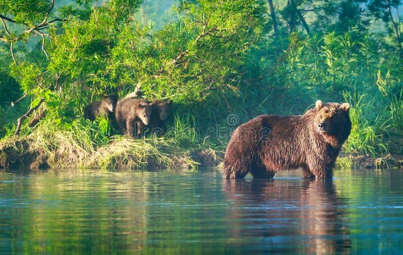 Famille d'ours de Brown dans le lac Kourile photographie stock libre de droits