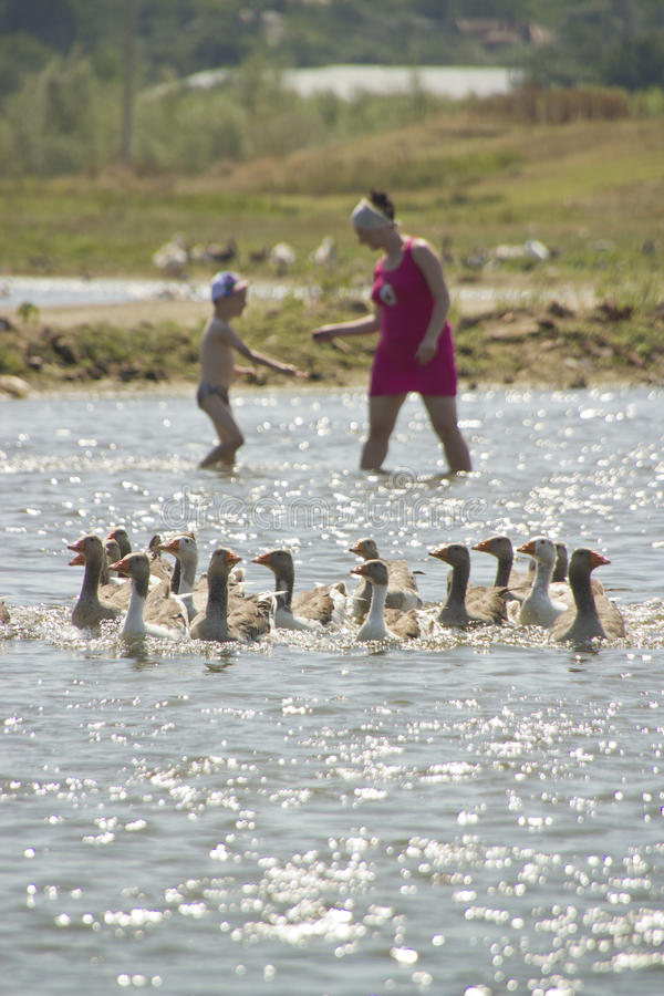 Famille dans l'eau avec des oies