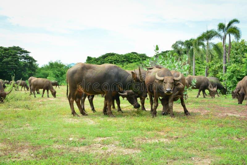 Famille de buffle de la Thaïlande sur ses plaines 3 de prairie image stock