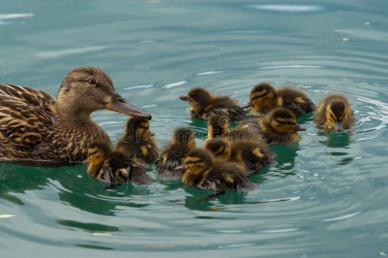 Famille de canard photo libre de droits