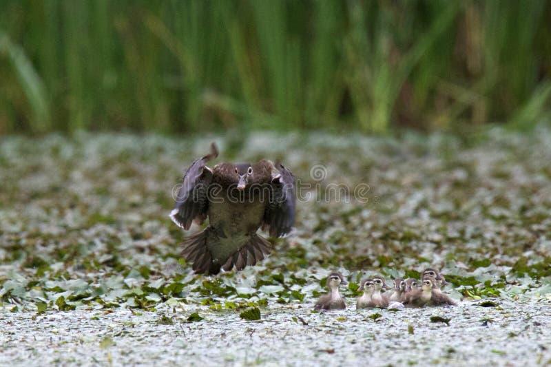 Famille de canard en bois photographie stock libre de droits