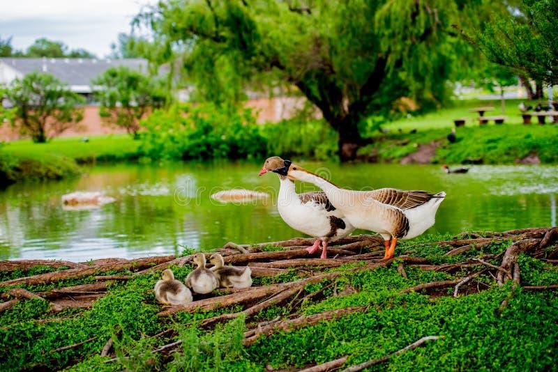 FAMILLE DE CANARD PAR L'ÉTANG DANS TX 2 photo stock