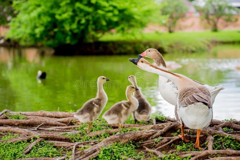 FAMILLE DE CANARD PAR L'ÉTANG DANS TX 2 photographie stock libre de droits