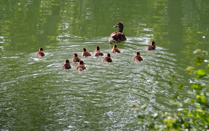 Famille de canards, la mère enseigne à ses poussins à nager, castell meri, lerida images libres de droits