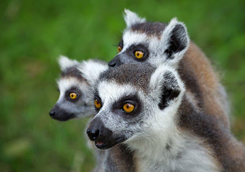 Famille de catta anneau-coupé la queue de lémur de lémur image libre de droits