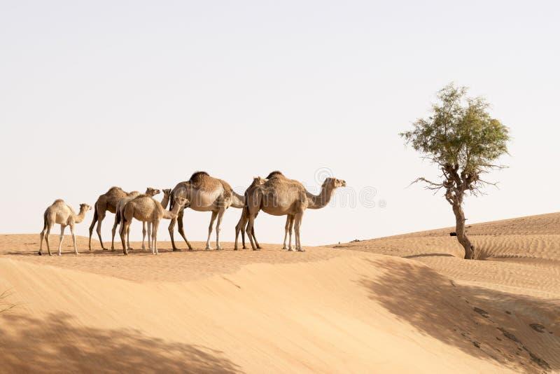 Famille de chameau image stock