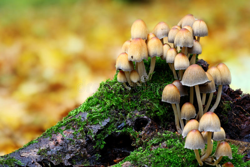 Famille de champignon de couche photo libre de droits