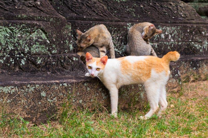 Famille de chat sur des pierres de temple antique Brown et chats jaunes dans le temple antique abandonné photos libres de droits