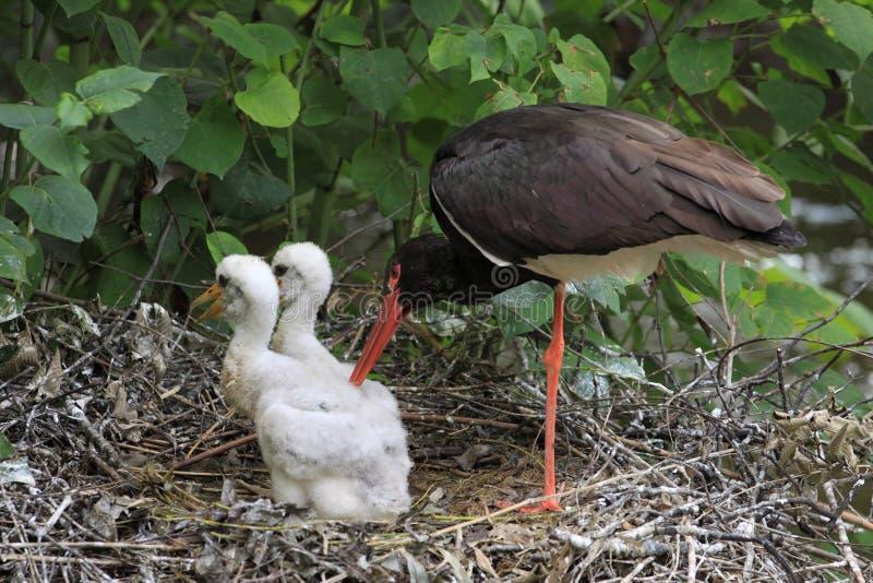Famille de cigogne noire image libre de droits