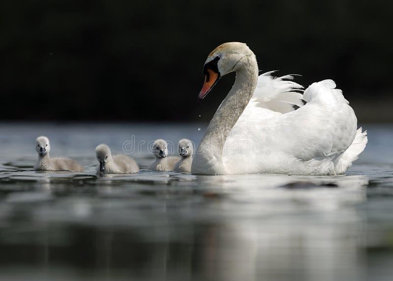 Famille de cygne photo libre de droits
