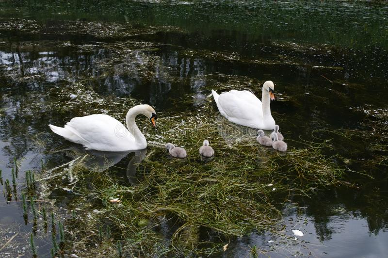Famille de cygne de deux adultes et de cinq jeunes sceaux sur la rivière au printemps image libre de droits