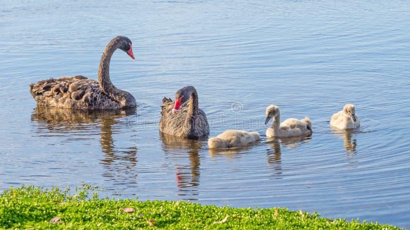Famille de cygne noir image stock