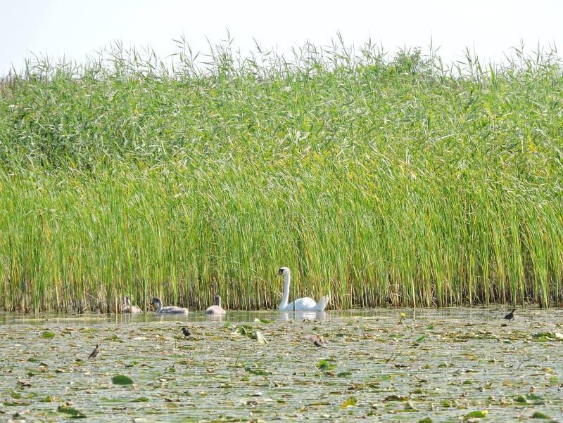 Famille de cygnes dans le lac, Lithuanie photographie stock