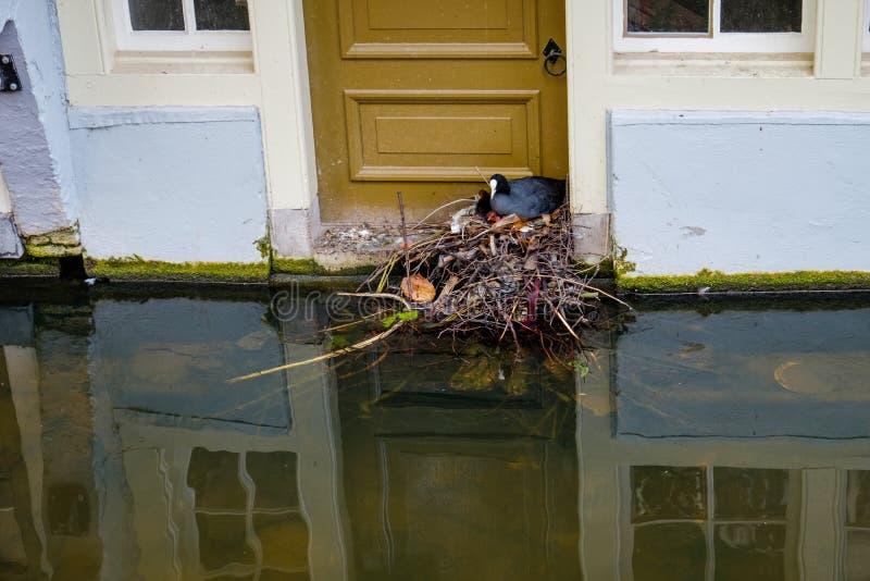 Famille de foulque maroule construire leur nid des déchets devant la porte d'une maison de canal à Delft, Pays-Bas photo stock