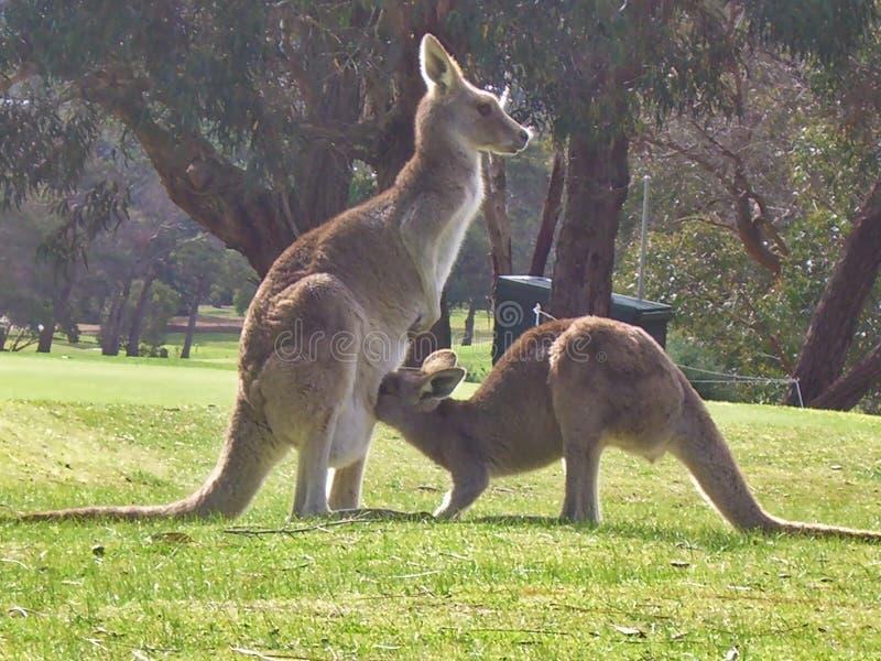 Famille de kangourou photo stock