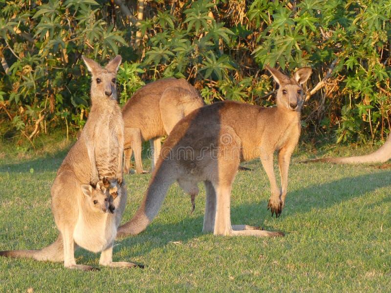 Famille de kangourous avec un bébé dans la poche de mamans photographie stock