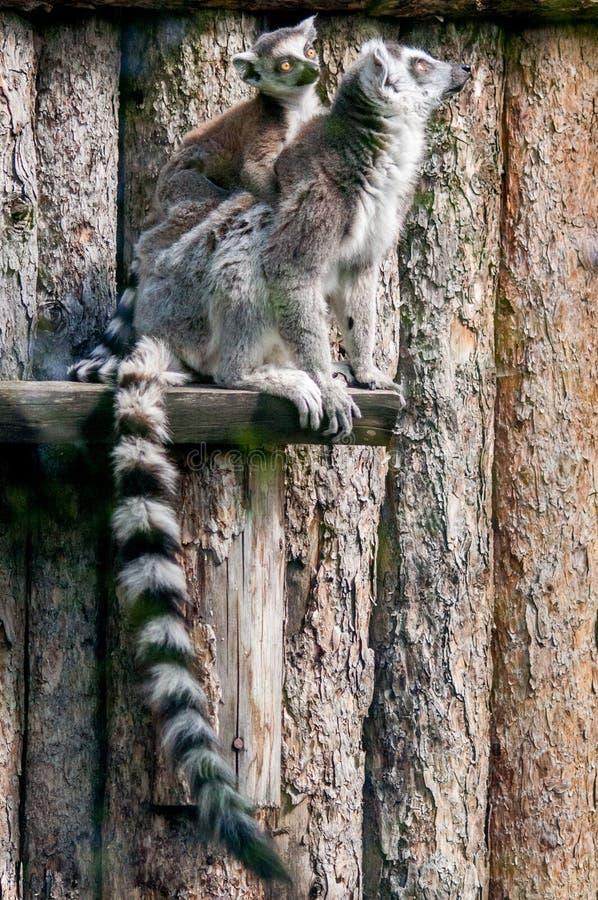 Famille de lémur photographie stock