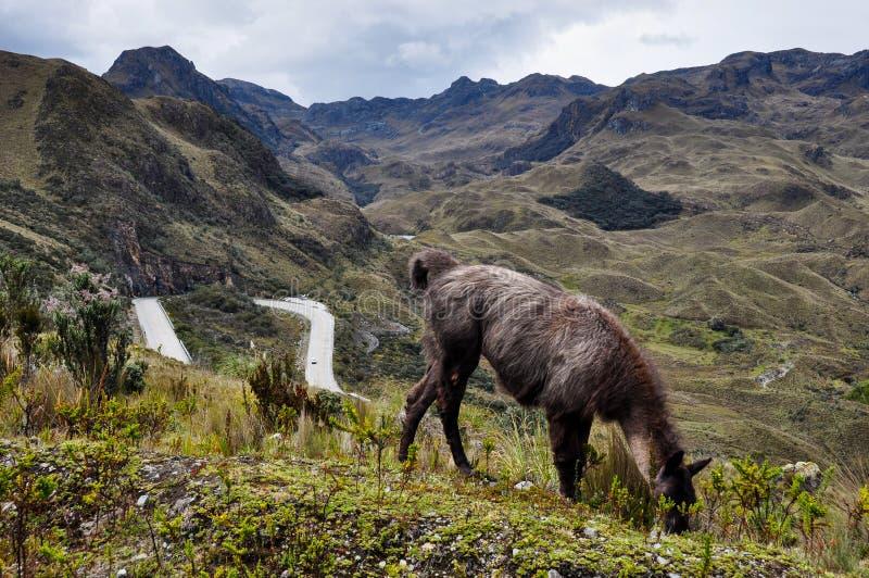 Famille de lamas en parc national d'EL Cajas, Equateur photographie stock