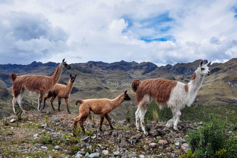 Famille de lamas en parc national d'EL Cajas, Equateur photo libre de droits