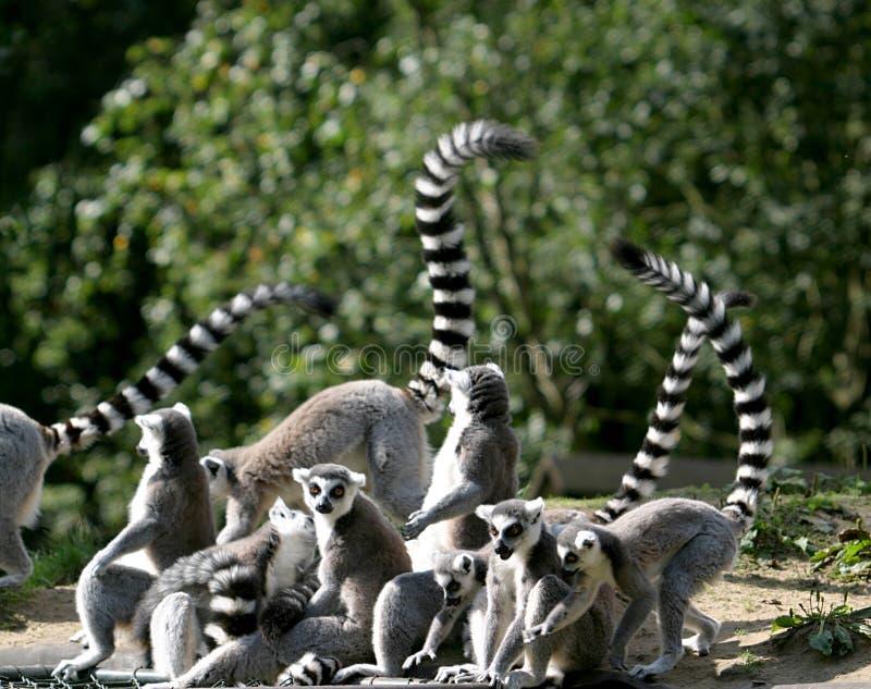 Famille de Lemur Ring-tailed photo stock
