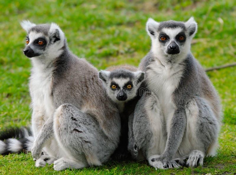Famille de lemur Ring-tailed photographie stock libre de droits