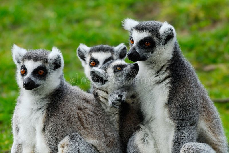 Famille de lemur Ring-tailed photos libres de droits