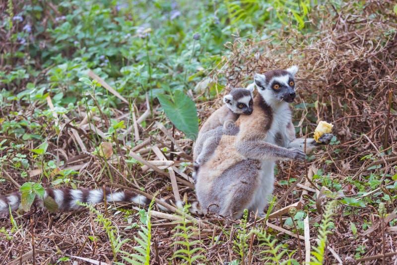 Famille de Lemur Ring-tailed images libres de droits