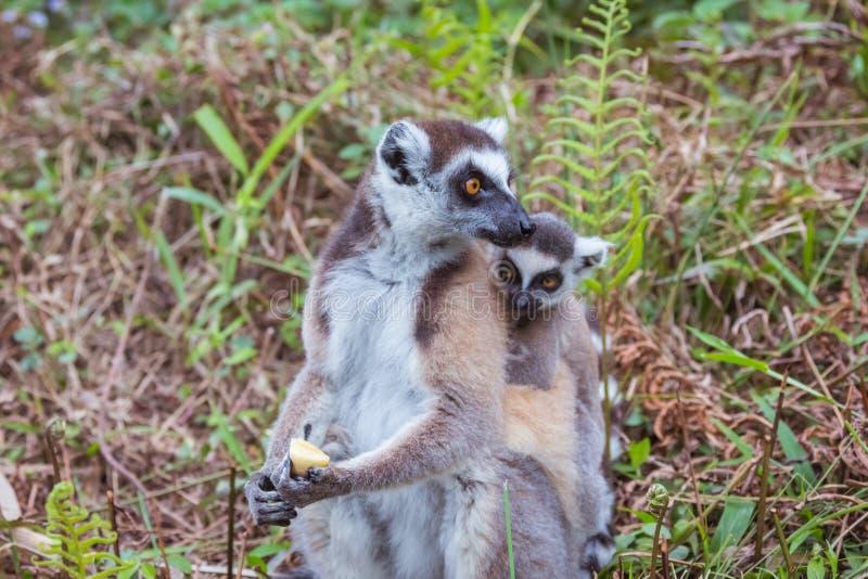Famille de Lemur Ring-tailed image stock