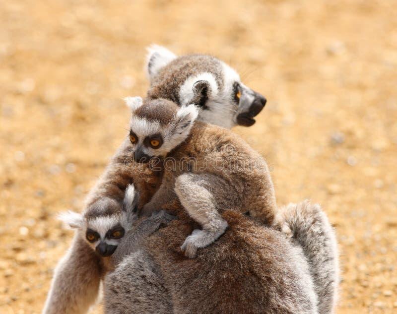Famille de lemur suivie par boucle photos stock