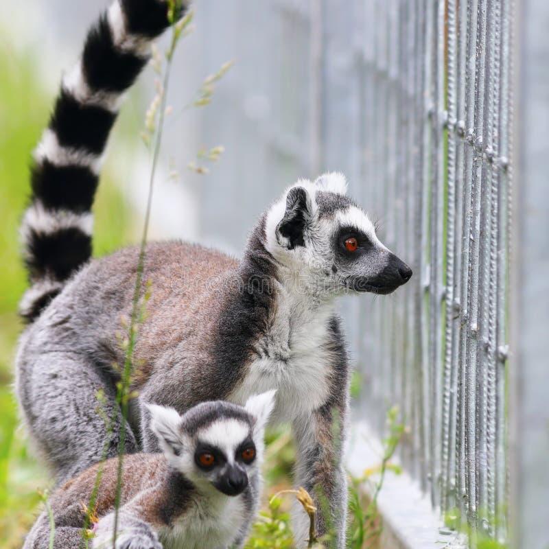 Famille de lemur suivie par boucle photographie stock