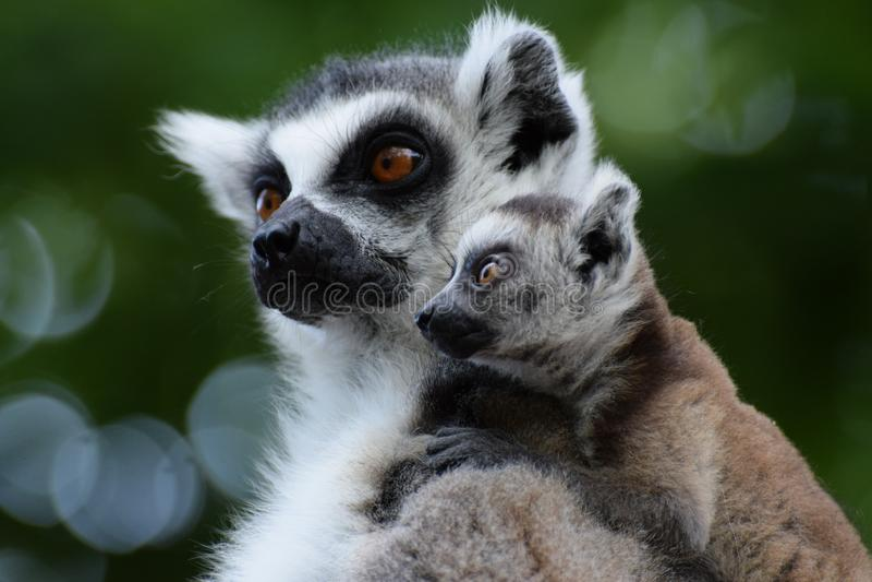 Famille de lemur suivie par boucle image libre de droits