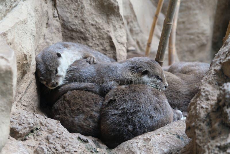 Famille de loutre dormant étroitement ensemble images stock
