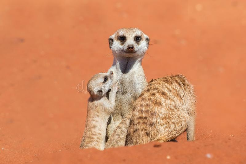 Famille de Meerkat sur le sable rouge, désert de Kalahari, Namibie images libres de droits