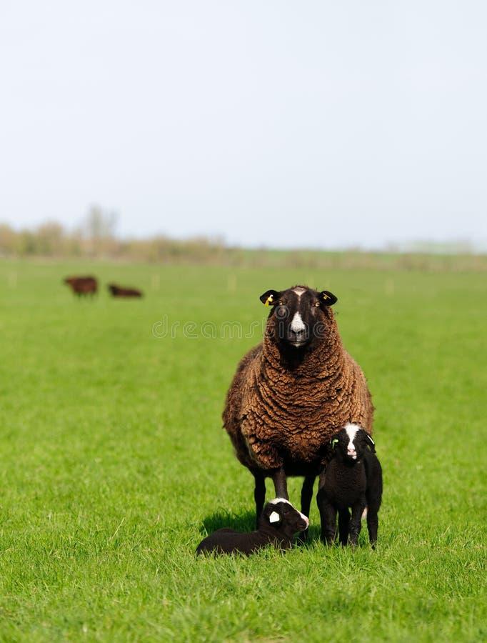 Famille de moutons image libre de droits