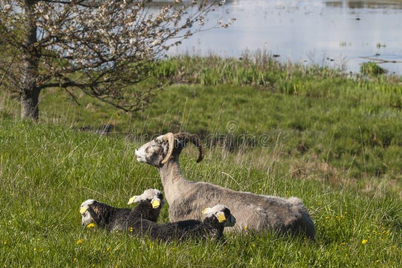 Famille de moutons photos libres de droits