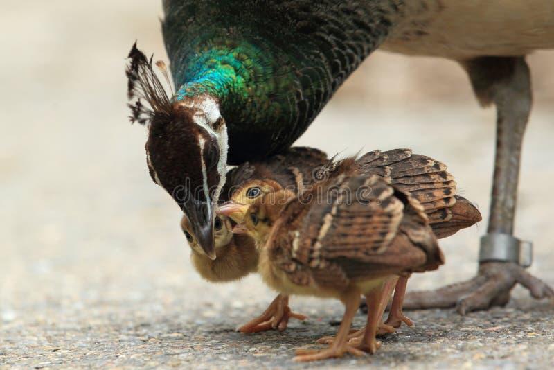Famille de Peafowl images stock