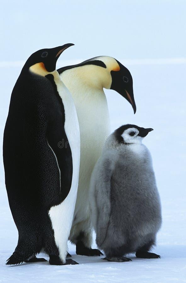 Famille de pingouin d'empereur de baie d'Atka de mer de l'Antarctique Weddel photographie stock libre de droits