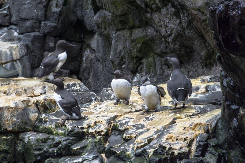 Famille de pingouin se reposant ensemble dans Oceanario, Lisbonne images libres de droits