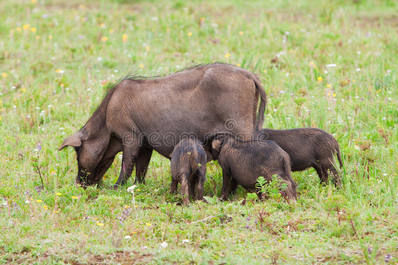 Famille de porc sur la zone photographie stock libre de droits