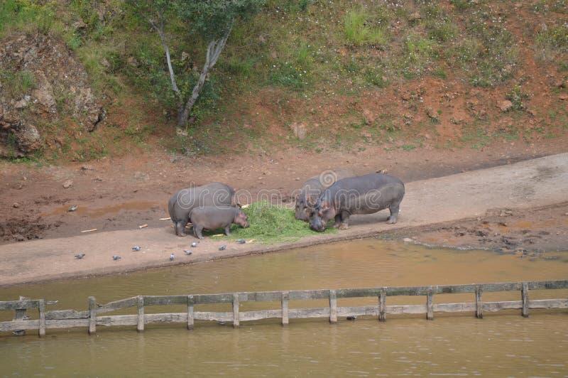 Famille de portrait de quatre hippopotames mangeant mien de Cabarceno de parc naturel le vieux pour l'extraction de fer Le 25 ao? photo stock