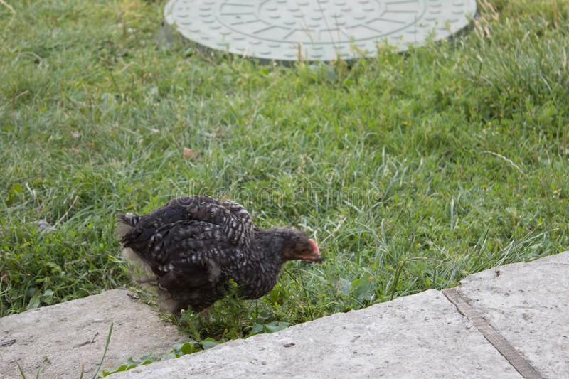Famille de poulet photo libre de droits
