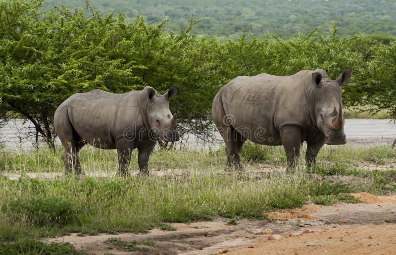 Famille de rhinocéros photographie stock libre de droits