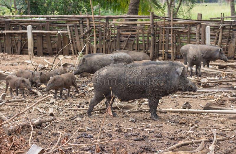 Famille de sanglier sur rural photo libre de droits
