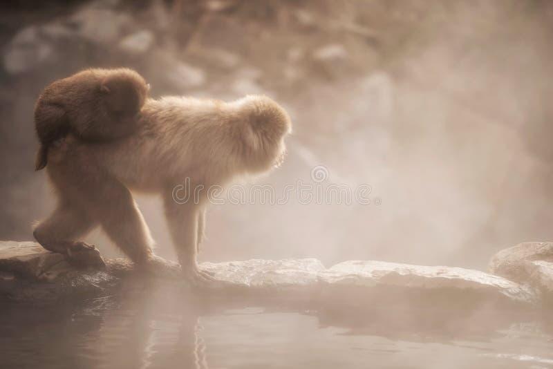 Famille de singe de neige en parc de Jigokudani au coucher du soleil photo stock