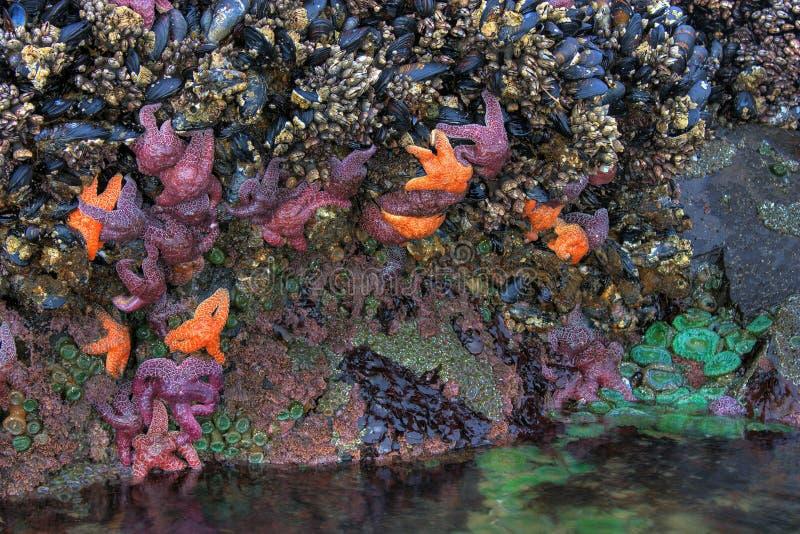 Famille des étoiles de mer dans le regroupement de marée photographie stock