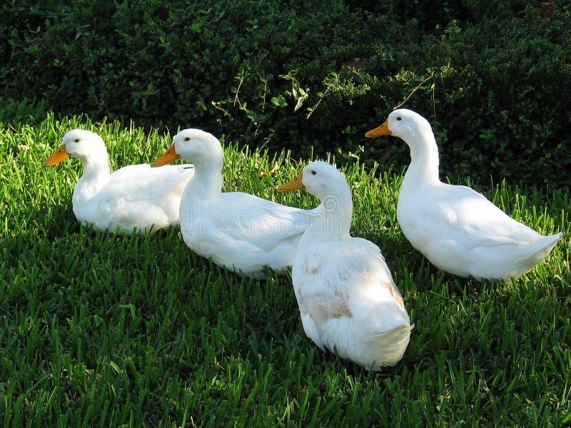 Famille des canards images stock