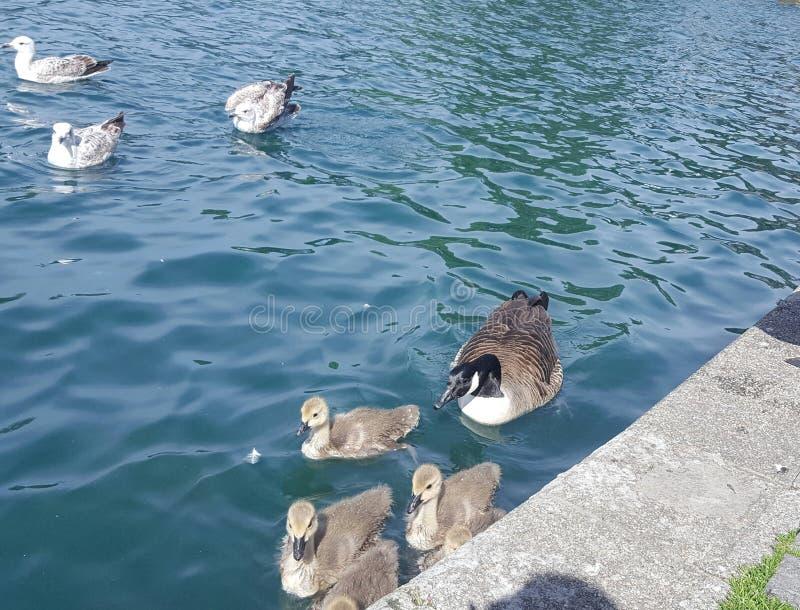 Famille des canards image stock