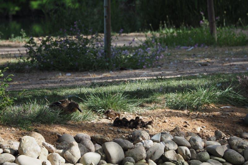 Famille des canards bleus dans le lac de Castell del Remei image libre de droits